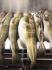 Amberfisch gute Dorsche