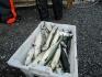 Makrelen Helgeland Fjordferie
