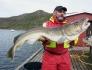 Korsfjord guter 17kg Dorsch