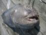 Steinbeisserfischen