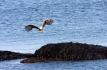 Seeadler am Vestfjord Nordskot Brygge