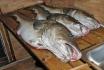 gute Dorsche Rotsund Seafishing