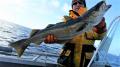 Pollack Traena Arctic Fishing