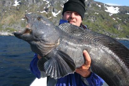 Seewolf aus Nordnorwegen