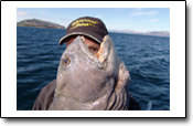 top Steinbeisser in Efjord: ein Angelbericht